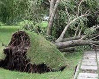 Mərkəzi Klinikanın həyətindən 14 ağac çıxarıldı
