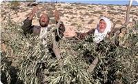 İsrail fələstinlilərin zeytun ağaclarını məhv edir