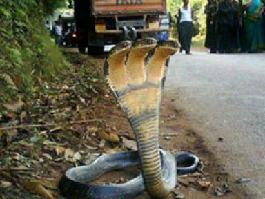 3 başlı kobra - <font color=red>Foto</font>