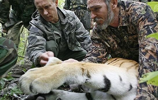 Putinin 435 minlik pələngi keçiləri parçaladı-