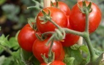 Gömrük Komitəsi pomidorla bağlı açıqlama yaydı