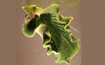 Fotosintez edən heyvan kəşf edildi