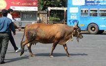 Hindistanda inək kəsdiyi deyilən bir nəfər öldürüldü
