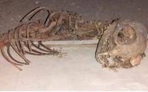 Şamaxıda qəribə heyvan skeleti tapıldı