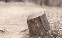 Xaçmazda 11 qovaq ağacı qanunsuz kəsilib