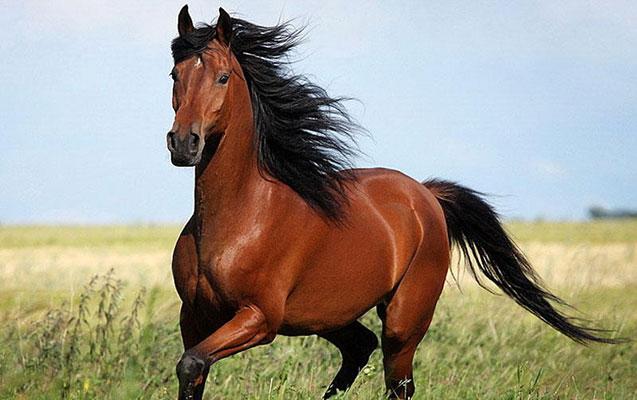 Azərbaycan atları xaricə daşınır