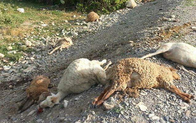 İsmayıllıda maşın 15 baş qoyunu vuraraq öldürdü