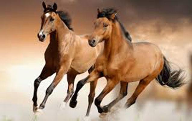 Masallıda 5 at oğurlandı
