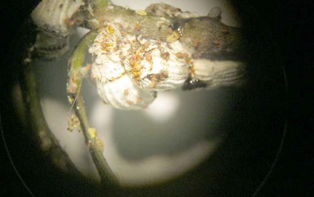 İtaliyadan gətirilən dekorativ bitkilərdə zərərvericilər aşkarlandı