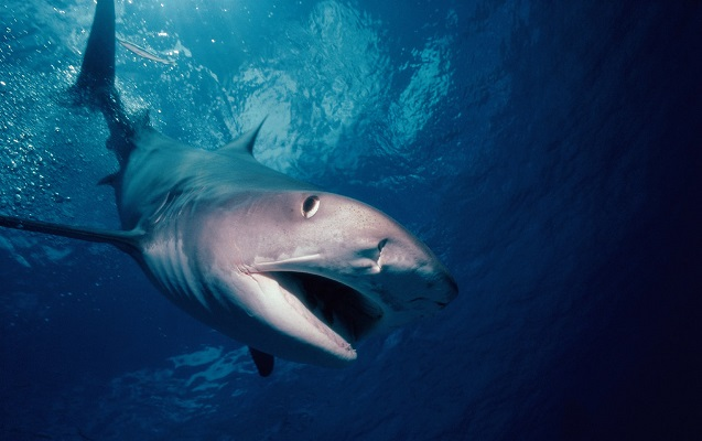 Dalğıc köpəkbalığından xilas olmaq üçün 3 saat üzüb