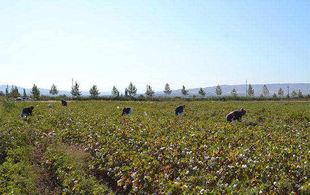 Füzulidə 1400 ton pambıq yığılıb
