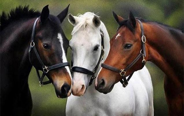 Azərbaycanda atların sayı kəskin azalıb