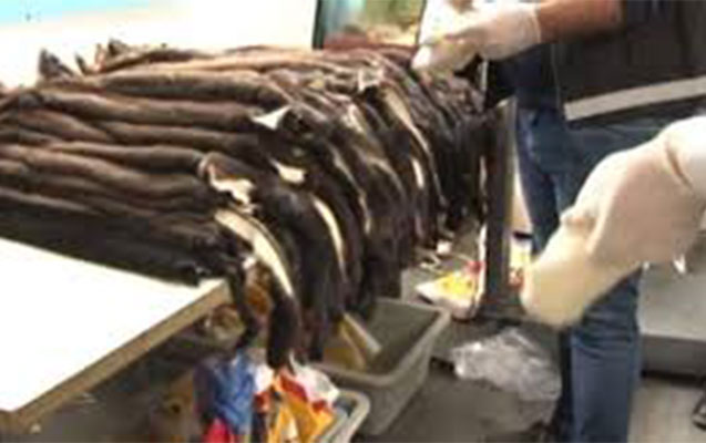 Azərbaycanlı 200 porsuq kürkü ilə tutuldu