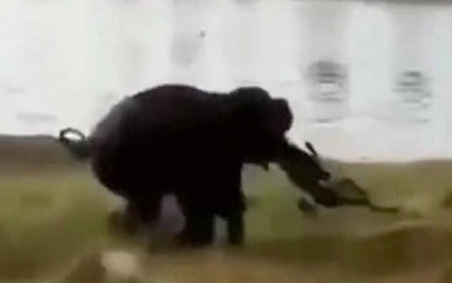 Fil fermeri ayaqlayaraq öldürdü