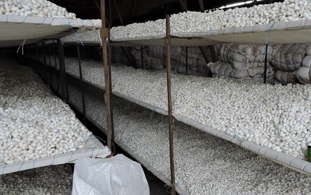 Azərbaycanda 450 ton barama tədarük edilib