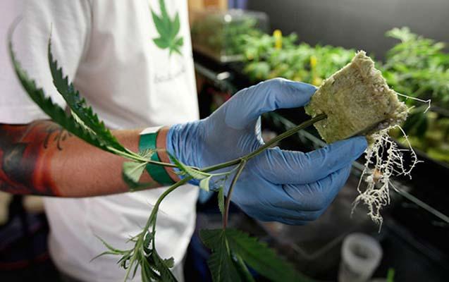 Kanadada marixuananın qanuni satışına başlanılıb