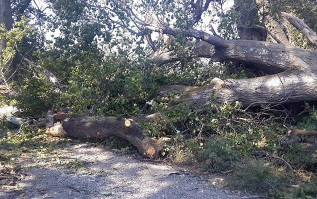 46 yaşlı kişi kəsdiyi ağacın altında qalıb öldü