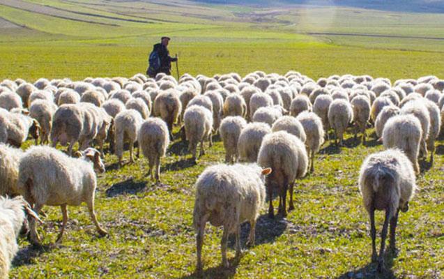 Çoban qoyunlardan birini satıb, o birini kəsdi:Sonra oğurlandığını dedi-QEYRİ-ADİ ŞİKAYƏT