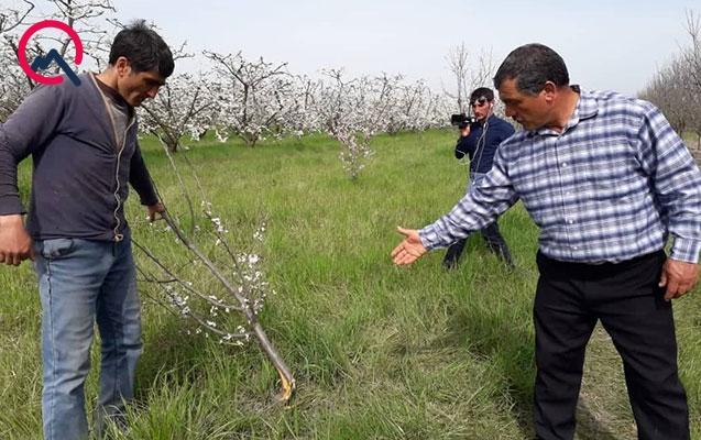 Qubada fermerin 200-dən çox ağacını kəsiblər