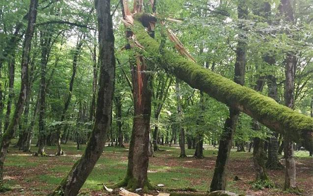 Güclü külək İsmayıllıda ağacları kökündən çıxarıb
