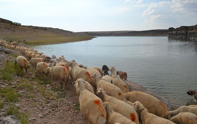 Çayın səviyyəsi kəskin artıb, çobanlar 500 heyvanla köməksiz qalıb