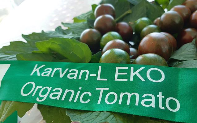 Azərbaycanda qara pomidor  yetişdirilir