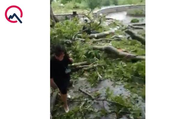 Şəki Xan sarayında ağac aşdı