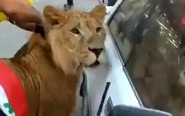 İraqda aksiyaya aslan gətirdilər