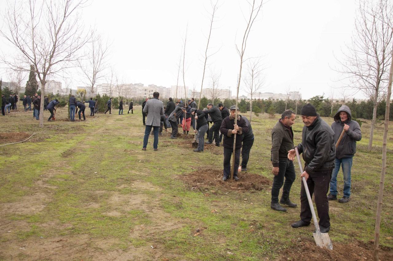 Nərimanov rayonunda 2500-dək ağac əkilib - Foto
