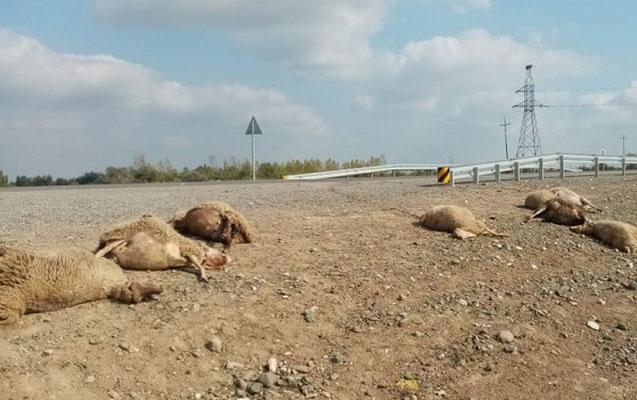 """""""Kamaz"""" sürüyə çırpıldı, çoban yaralandı, 23 qoyun tələf oldu"""