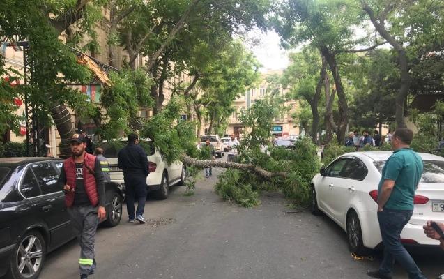 Bakının mərkəzində ağac avtomobillərin üzərinə aşdı
