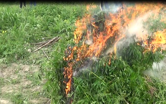 Şəkidə 1 tondan artıq narkotik tərkibli bitki məhv edildi
