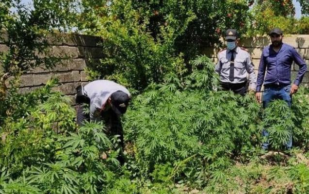 Həyətində özü üçün narkotik əkdi