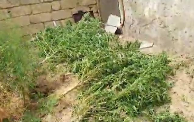 Həyətində narkotik becərən şəxs saxlanıldı - Fotolar
