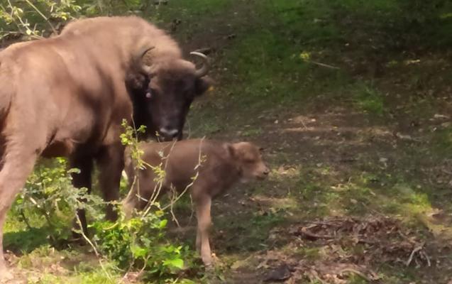 Şahdağ Milli Parkında 3-cü zubr balası dünyaya gəlib