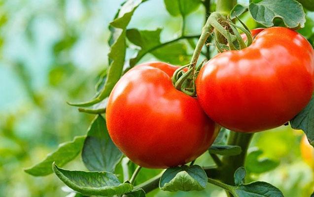 Azərbaycanın daha 13 müəssisəsindən pomidor və alma idxalına icazə verildi