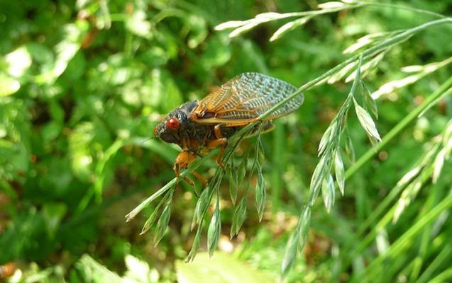 ABŞ-ın bir neçə ştatı böcəklərin hücumuna məruz qalıb